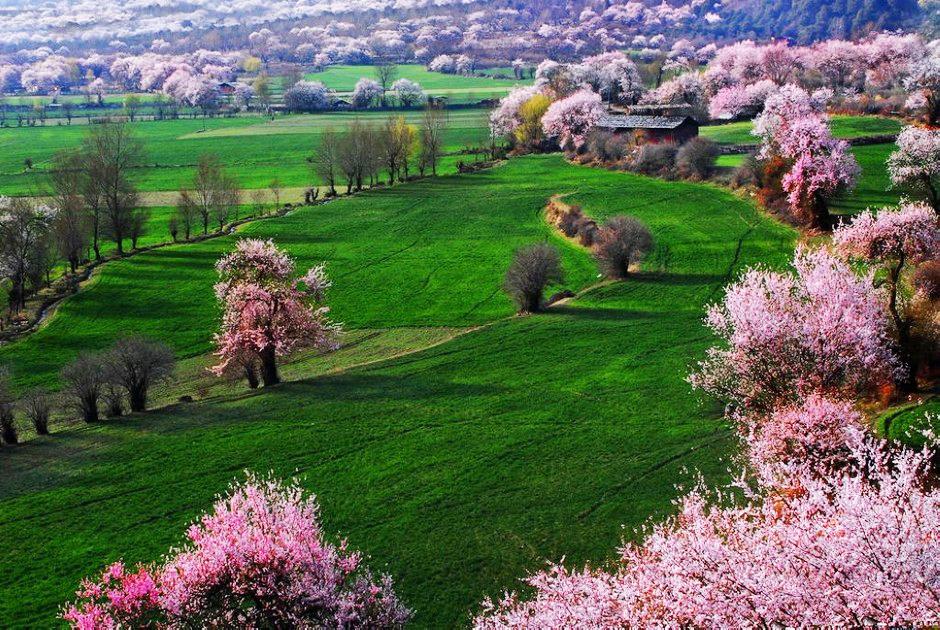 西藏林芝波密邀您共赏桃花盛宴