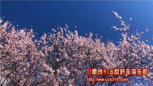 蓝天下的粉色桃花