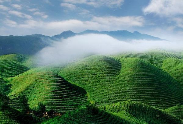 清明节新玩法,成都周边自驾游采春茶
