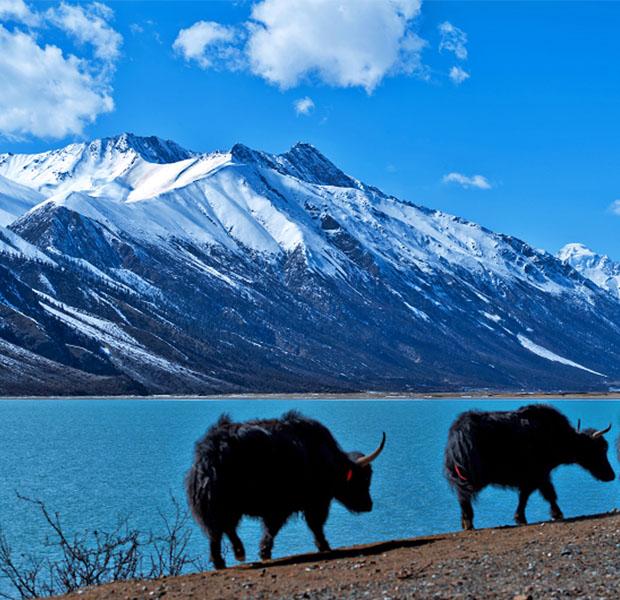 从成都出发进藏旅游,如何在有限的时间内,既能欣赏沿途优美的风景,又能在假期结束前返回?在成都租车进藏,再从拉萨或林芝乘飞机返回成都,是目前川藏线旅游最省事儿的模式。  近年来,西藏旅游热度不减,许多租车公司都拓展了西藏租车业务和西藏代驾业务。从成都租车自驾/包车/拼车出发,沿途游览得天独厚的川藏线风景,高原、湖泊、草甸、原始森林……一路风景随着海拔的升高呈现风格各异的自然奇观。川藏线最美的风景在路上,而只有亲自领略一路的风景,你才算真正到过最美的景观大道,也才算真正见识过西藏的